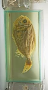 In Spiritus präparierter Tiefseefisch. Bild: Pengo / wikipedia.org